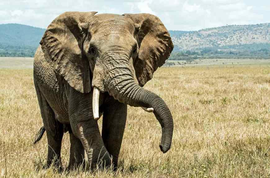 Elefante pisoteou caçador