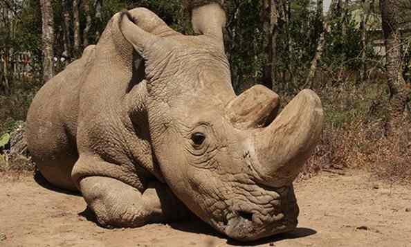 Ultimo rinoceronte branco