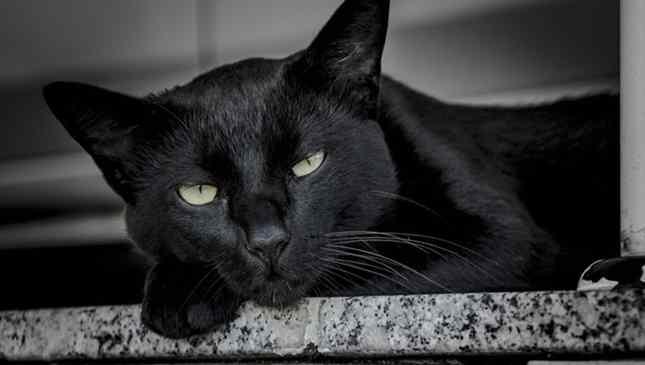 Gato preto lindo