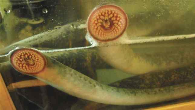 lampreia disease fotos que você não deve pesquisar no Google