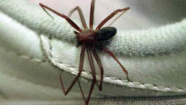 picada de aranha marrom reclusa