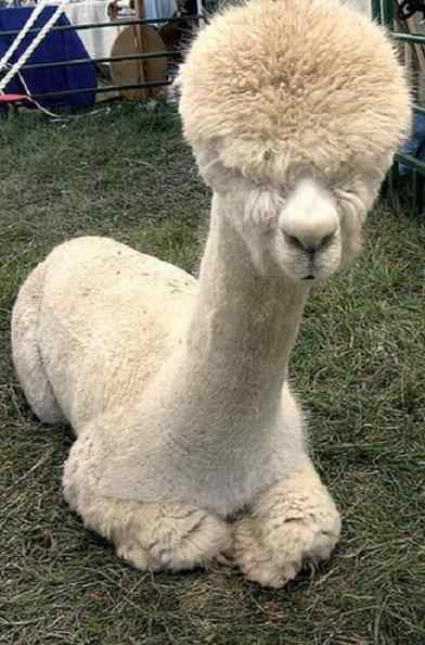 alpaca sorridente