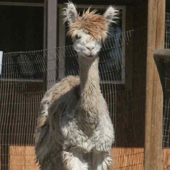 alpaca modelo