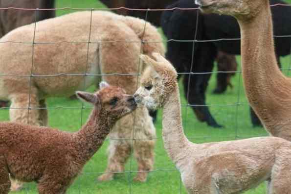 bebê alpaca