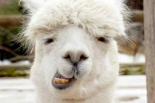 imanges de alpacas fofas