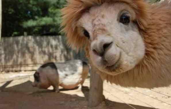 alpacas fofas bonitas