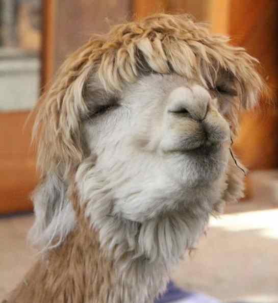 fotos de alpacas fofas