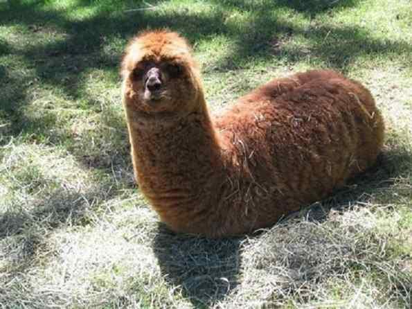 alpacas fofas engraçadas