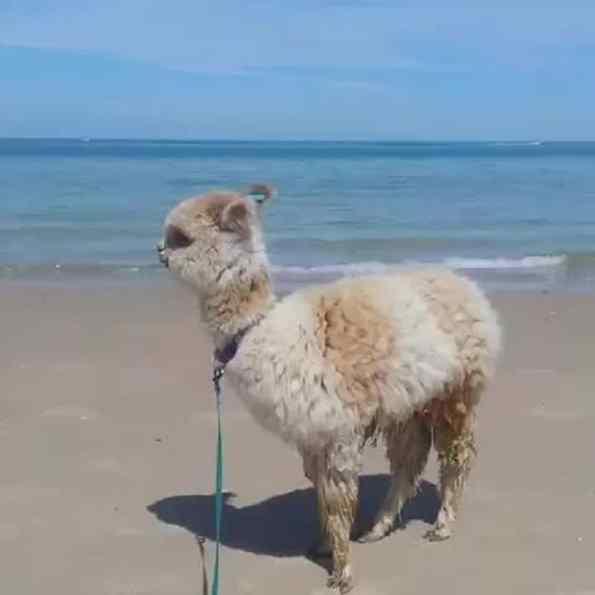 alpaca na praia