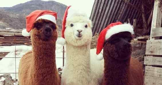 alpacas fofas