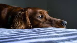 Cães também levam problemas do dia para a cama