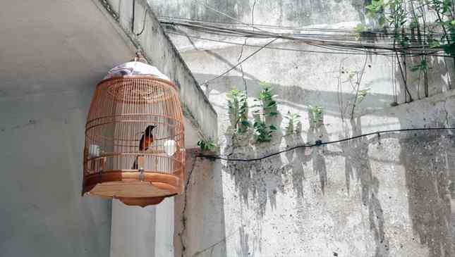 Pássaros em gaiolas ainda fazem parte da cultura de alguns países
