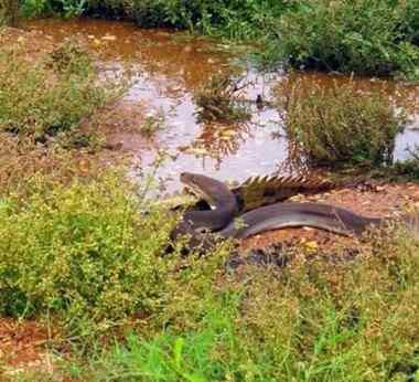 píton crocodilo