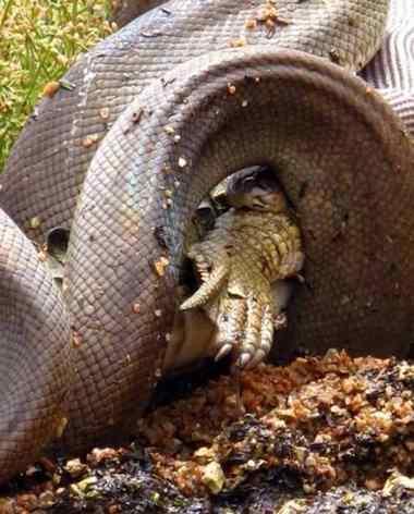 cobra comendo crocodilo
