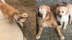 Cachorro cego e idoso ganha amigo cão-guia filhote