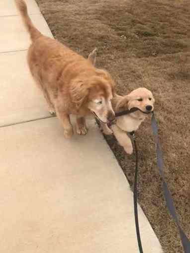 cão-guia