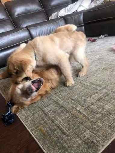 cão guia para cegos