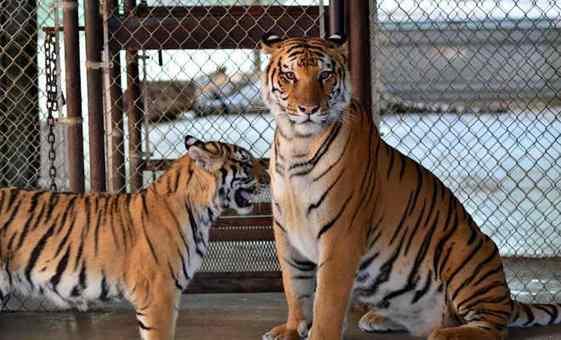 tigres namorando