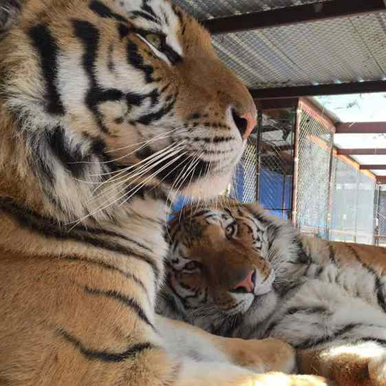 tigres em habitat
