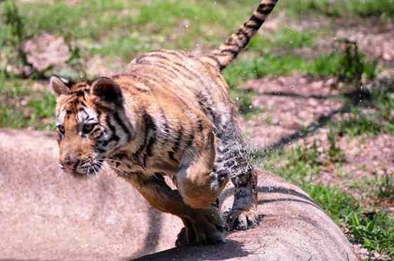 tigresa resgatada