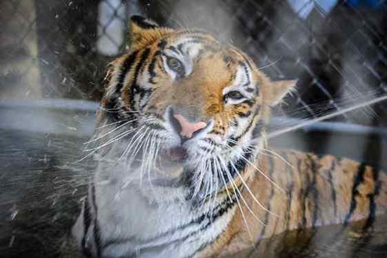 tigresa de circo na água