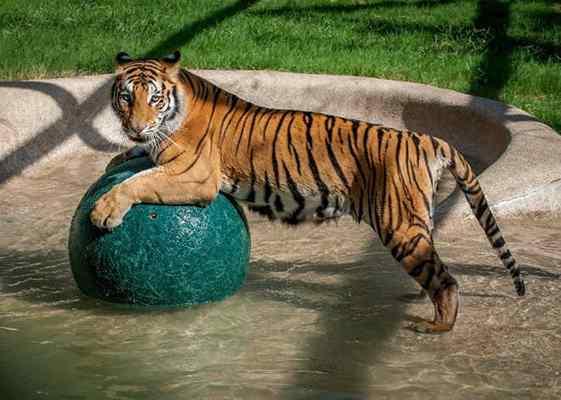 tigresa de circo