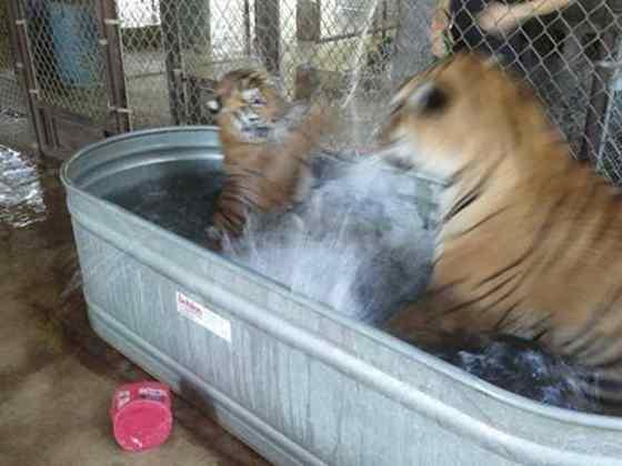tigre brincando na água