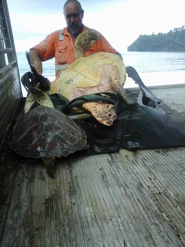homem salva tartarugas e as devolve ao oceano