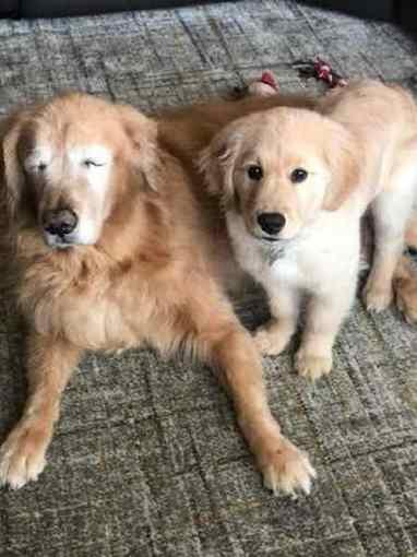 cachorro cego e cão guia