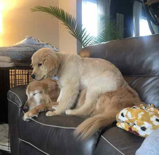 cachorro cego com cão guia