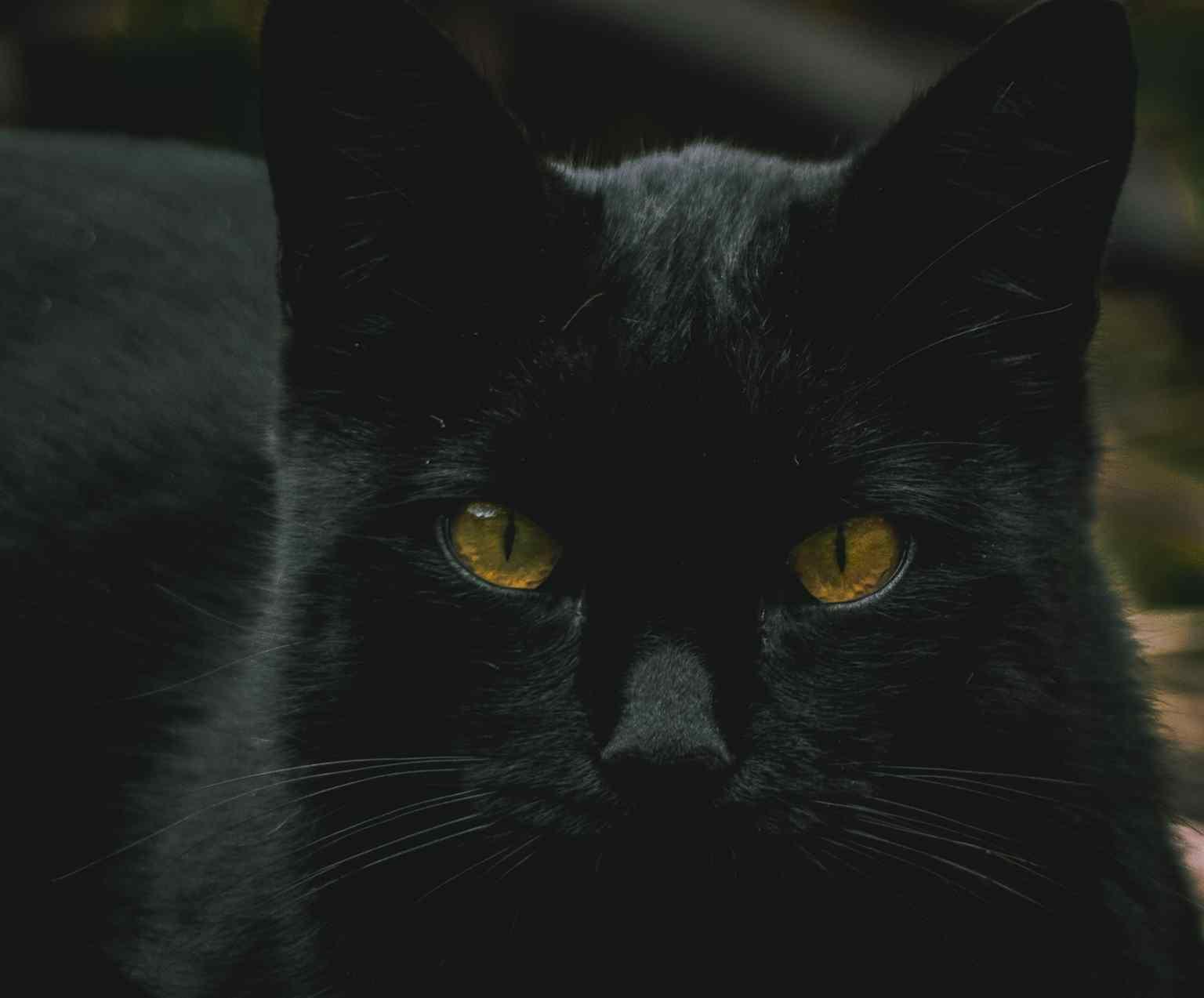 gato preto adoção