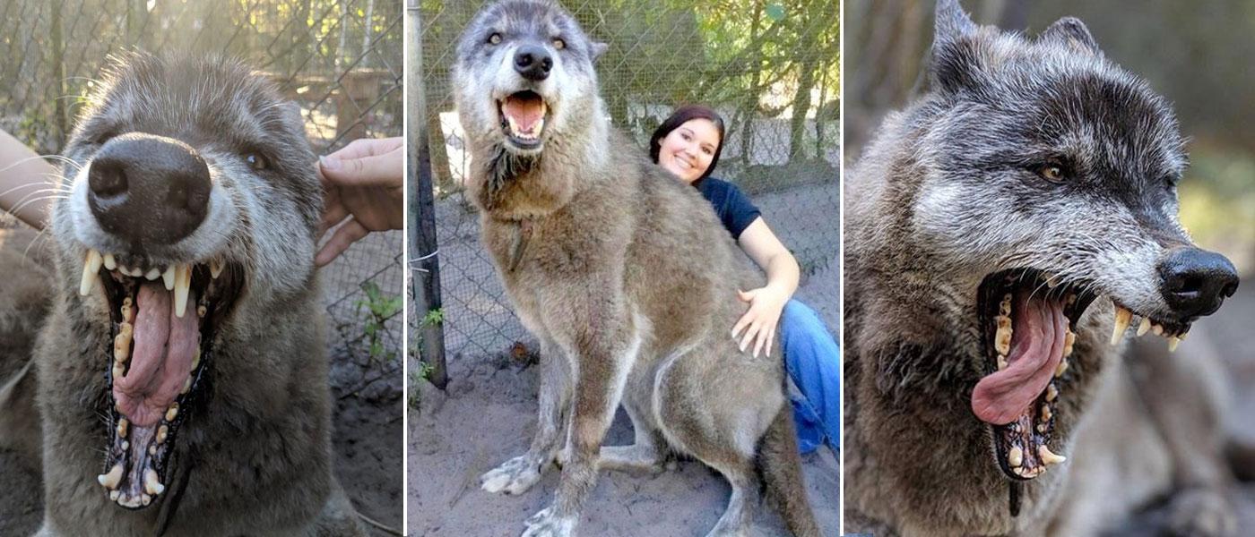 cão-lobo gigante