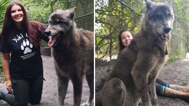 cão lobo gigante fotos