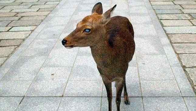 cervo-cego-1
