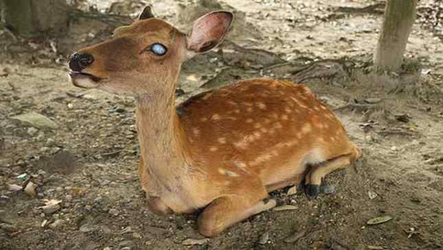 menino-ajuda-Cervo-cego-1