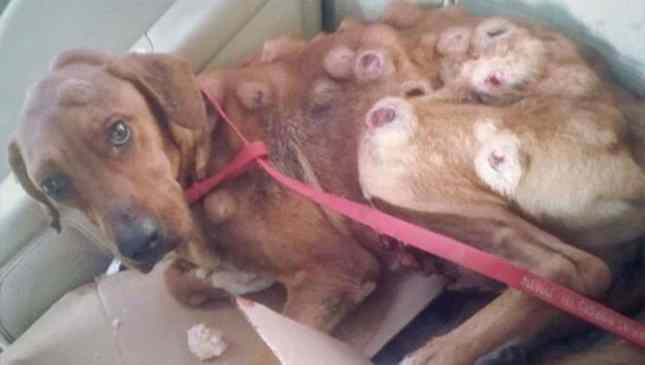 cão resgatado