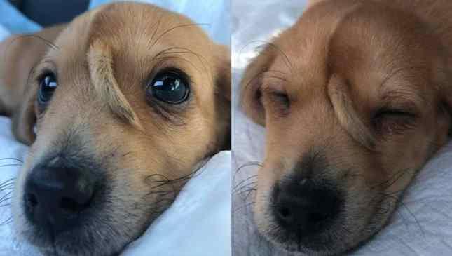 cachorro com rabo na testa