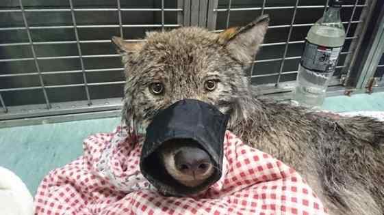 resgatam lobo pensando que era cachorro