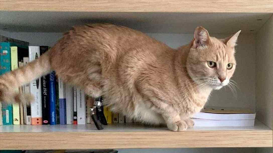 gato com patas biônicas