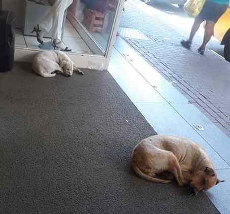 cães se refrescam em ar condicionado