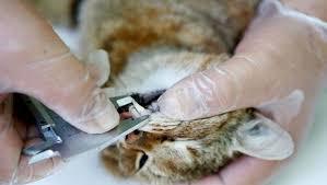 """Espécie de """"raposa-gato"""" é descoberta na França"""