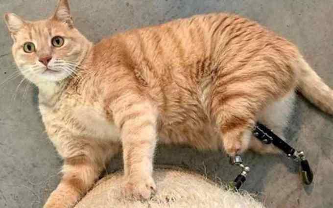 gato perde patas e ganha prótese