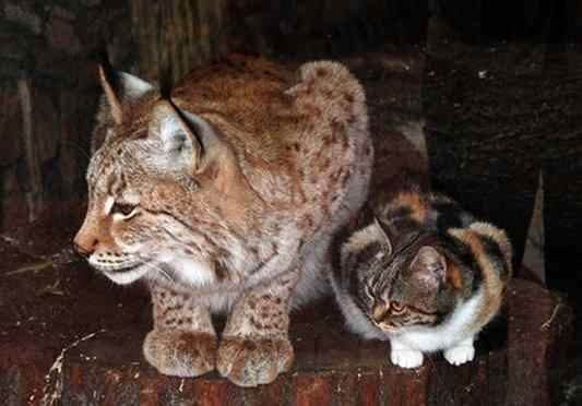 gato e lince zoológico
