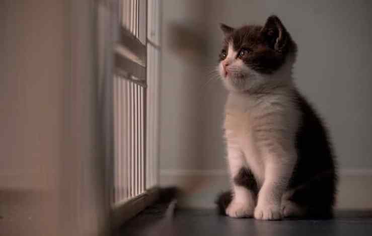primeiro gato clonado