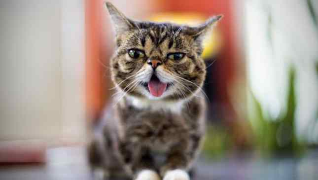 gata famosa lil bub