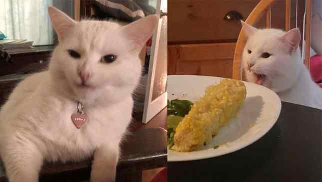 gato do meme famoso
