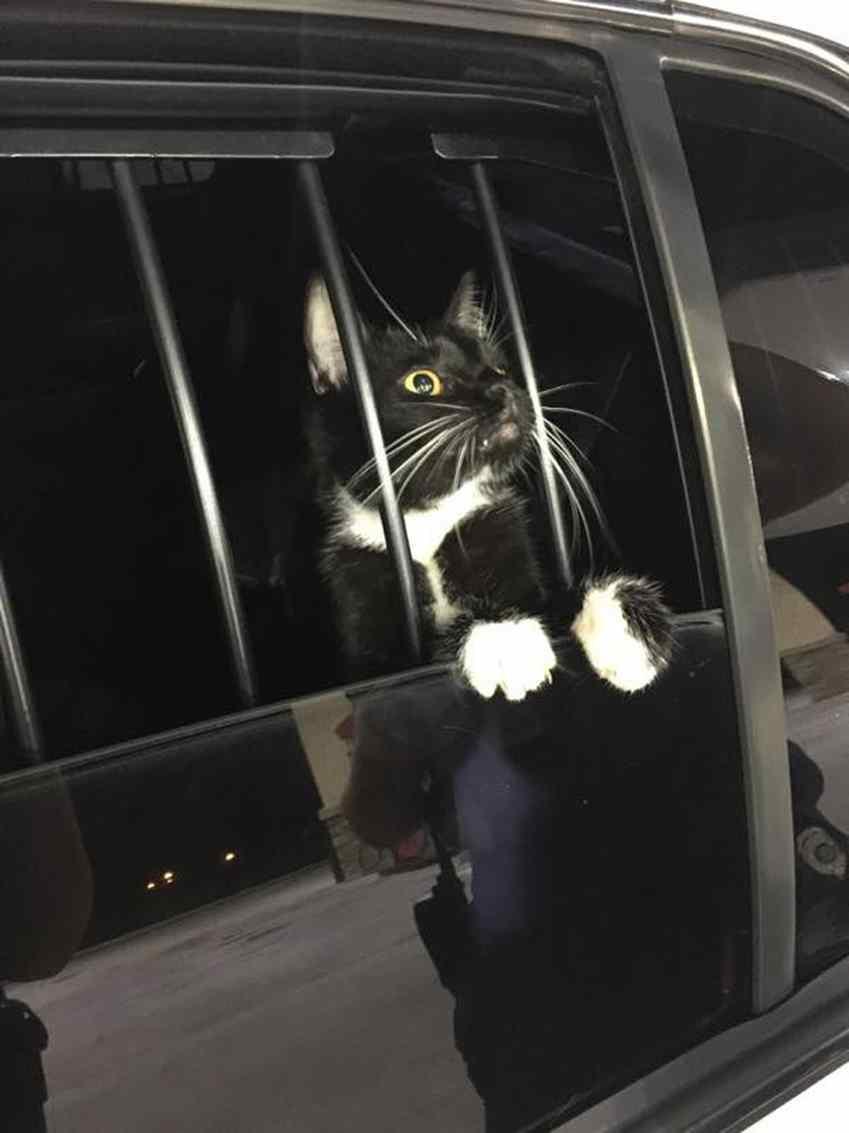 gato ladrão foi preso