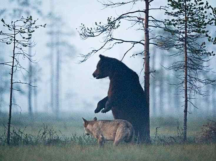 amizade entre lobo e urso