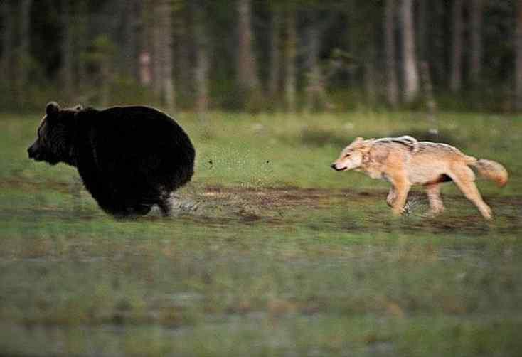 urso e lobo amigos