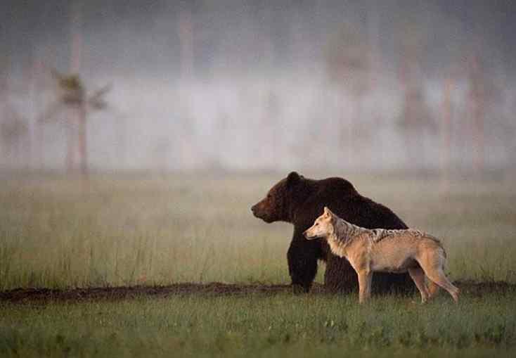 urso e lobo selvagem ficam amigos